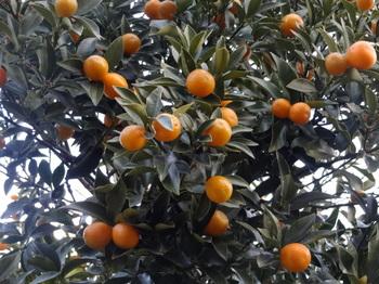 Kinkan Tree Kazue (4).JPG